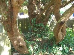 Yew Trunk