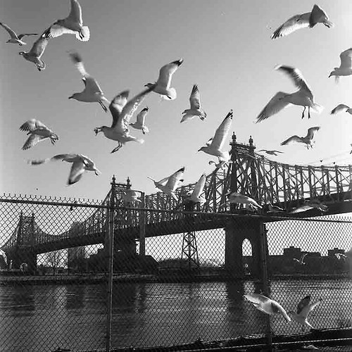 Queensborough Bridge and Gulls