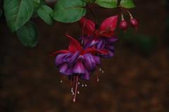 blossom(0.0), shrub(0.0), plant(0.0), flower(1.0), leaf(1.0), purple(1.0), macro photography(1.0), flora(1.0), fuchsia(1.0), pink(1.0), petal(1.0),