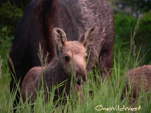 IR baby moose