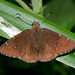 Northern Cloudywing - Photo (c) Bill Bouton, some rights reserved (CC BY-SA)