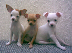 italian greyhound(0.0), toy fox terrier(0.0), english toy terrier(0.0), dog breed(1.0), chihuahua(1.0), animal(1.0), dog(1.0), pet(1.0), russkiy toy(1.0), carnivoran(1.0),