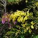 Small photo of Acacia fimbriata