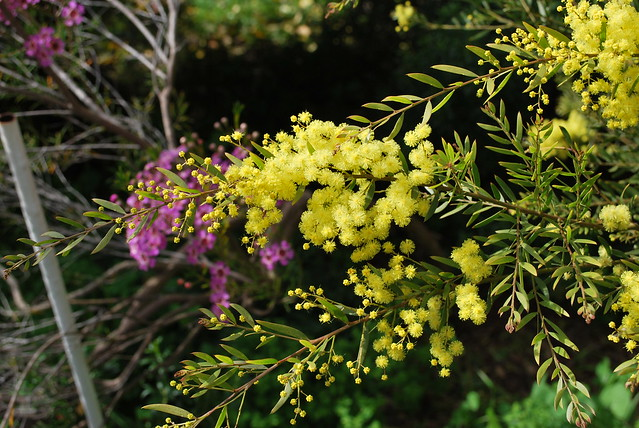 Header of Acacia fimbriata