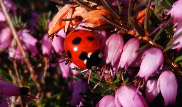 7 spot ladybird DSCN2459