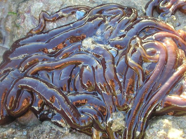 Lineus longissimus - carrai`r graean. Bootlace worm.