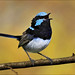 Superb Fairy-wren singing