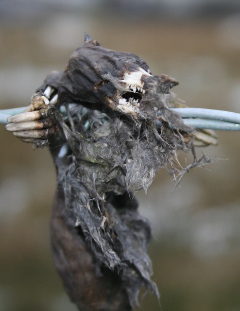 Mummified Mole