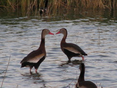 whistling duck pair