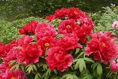 floribunda(0.0), azalea(0.0), annual plant(1.0), shrub(1.0), flower(1.0), plant(1.0), peony(1.0),