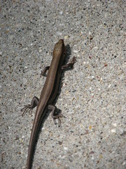 smooth newt, animal, newt, reptile, lizard, fauna, skink, lacertidae, scaled reptile,