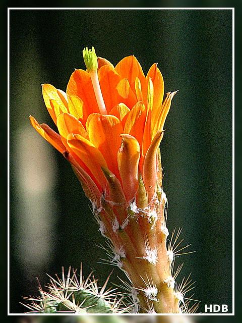 Echinocereus blossom (gimpified)