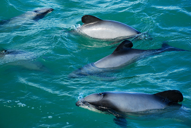 Hectors Dolphins Hectors Dolphins Are Endemic To The