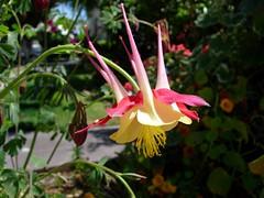 lily(0.0), shrub(0.0), erythronium(0.0), wildflower(0.0), flower(1.0), plant(1.0), flora(1.0), fuchsia(1.0),