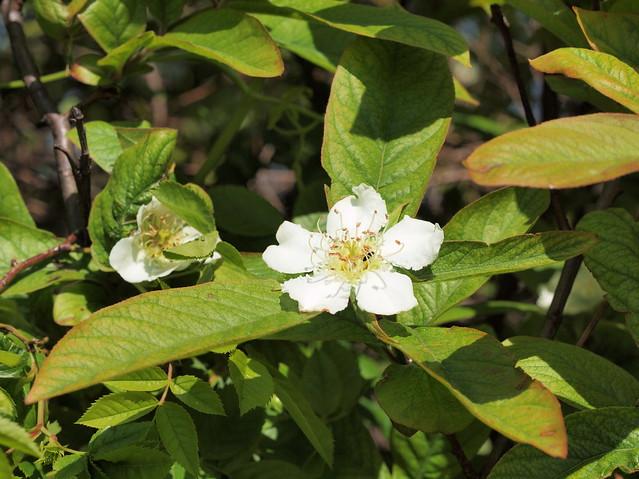 Mespilus germanica - cultivar (47°44´ N 16°25´ E)