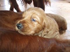 dog breed, animal, sussex spaniel, dog, pet, carnivoran,