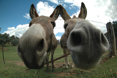 Picture of my friends donkeys taken with my new peleng 8mm