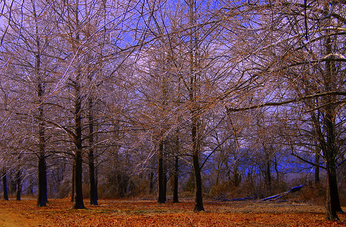 Ice Laden Trees