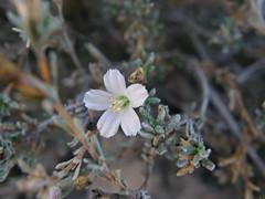 seaheath flower