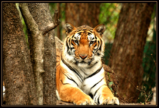 Y Tiger Is Our National Animal Tiger @ bannerghatta n...