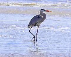 redshank(0.0), ibis(0.0), egret(0.0), animal(1.0), fauna(1.0), little blue heron(1.0), heron(1.0), beak(1.0), bird(1.0), wildlife(1.0),