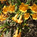 Orange Bush Monkeyflower - Photo (c) Terrie Miller, some rights reserved (CC BY-NC-SA)