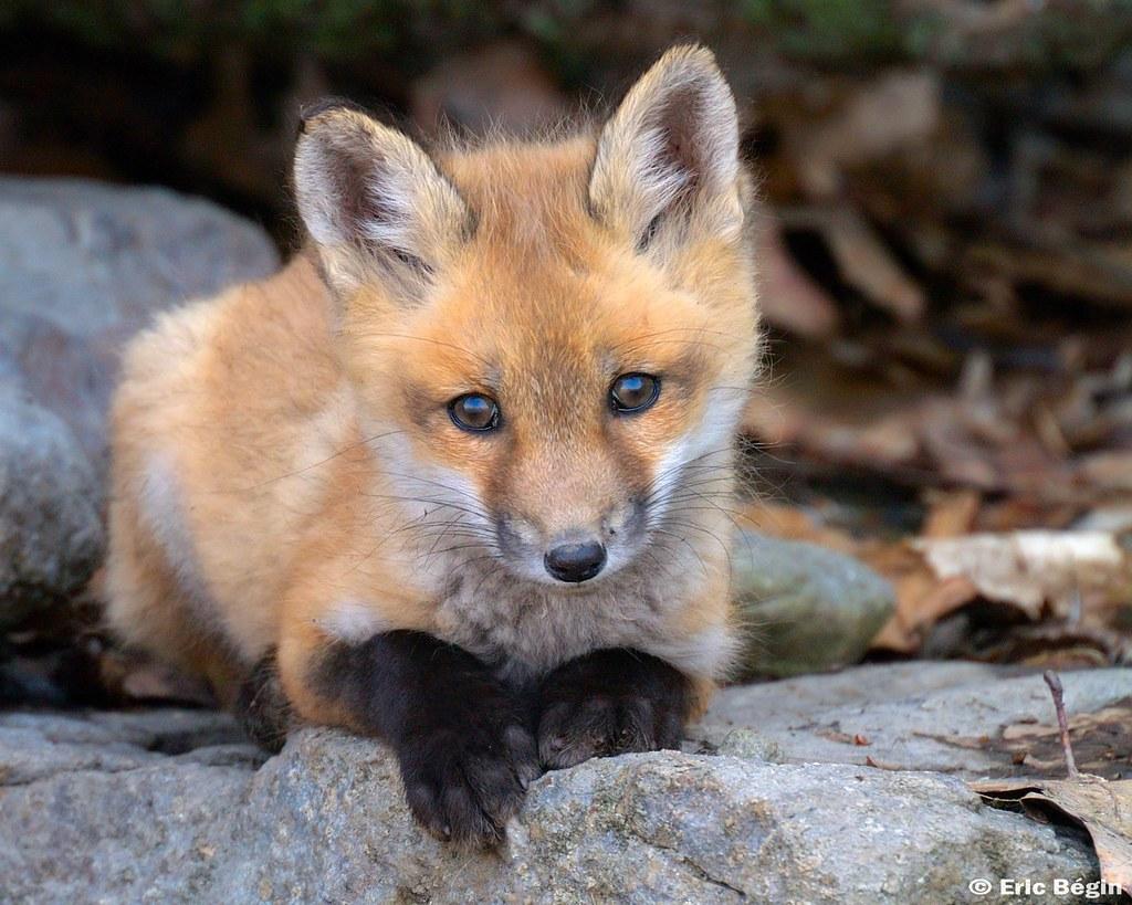 Red fox pup ( wild )