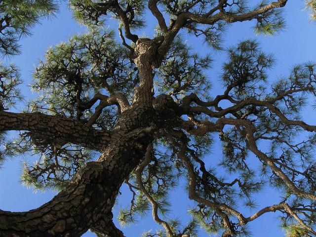Pine Tree / 松(まつ)