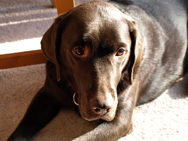 Choclate Dog With Green Eyes