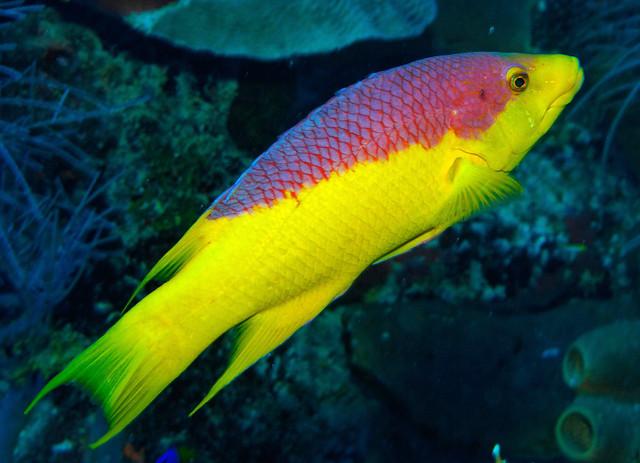Spanish hogfish flickr photo sharing for Fish in spanish