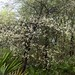 Small photo of American Plum