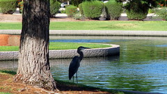 Great Blue Heron in Arizona Shade