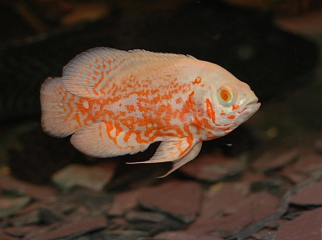Astronotus Ocellatus Oscar Fish Flickr Photo Sharing