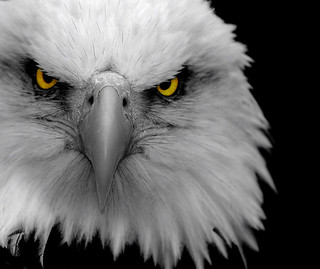 Eagle Close-Up B&W