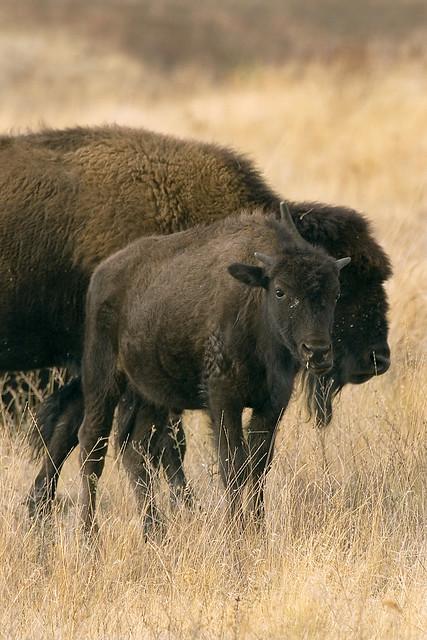 Bison - MT