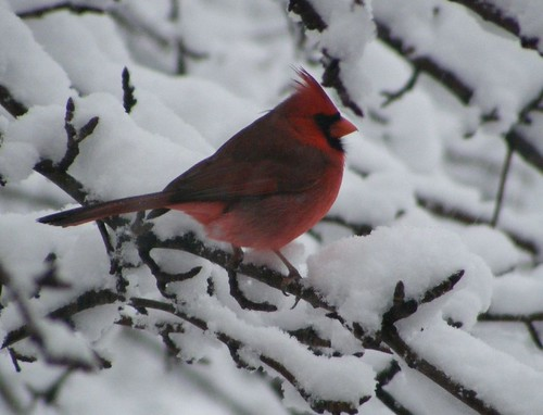 Cardinal on snow laden branches