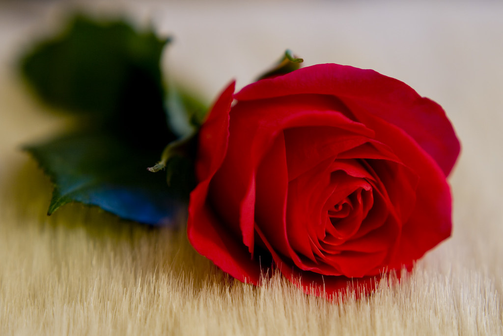 Single Red Rose A Rose By Any Other Name Andy Talbot Flickr