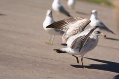 sea gull see goal
