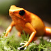 Strawberry Poison-dart Frog - Photo (c) Joe Milmoe, some rights reserved (CC BY-NC)
