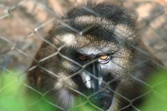 ape(0.0), animal(1.0), monkey(1.0), mammal(1.0), fauna(1.0), old world monkey(1.0), new world monkey(1.0), macaque(1.0), wildlife(1.0),