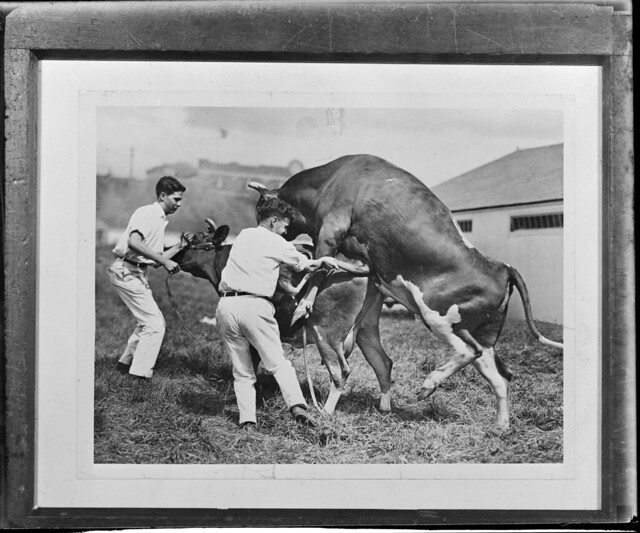 Bulls and Cows Mating Pictures http://www.flickr.com/photos/boston_public_library/5703904998/