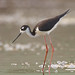Black-Necked Stilt at Industrial Site