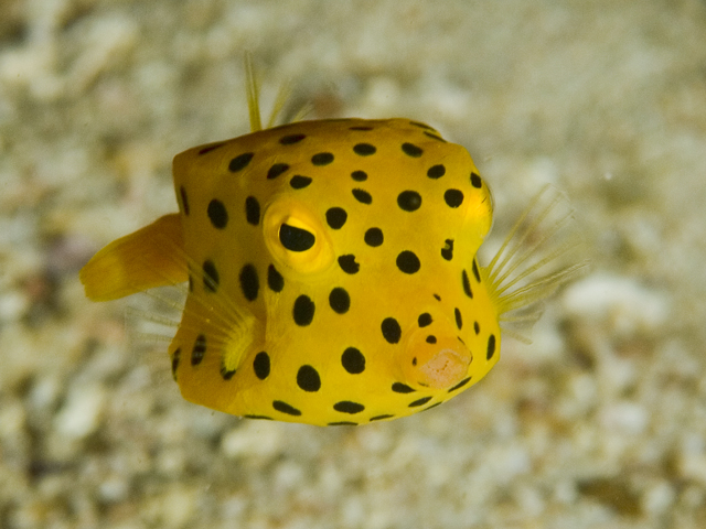 Yellow Boxfish Flickr - Photo Sharing!