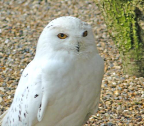 Hedwige la chouette voyageuse vieux c 39 est mieux - Chouette hedwige ...