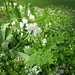 Small photo of White bleeding heart and sweet woodruff