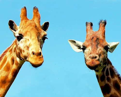 Two giraffe by @Doug88888