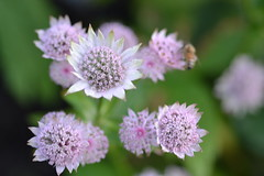 ASTRANTIA major 'Mrs MacGregor'