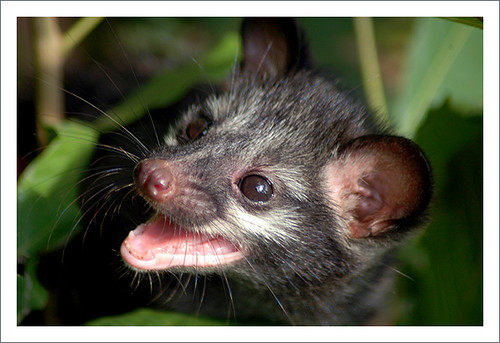 Asian Palm Civet (young) 1