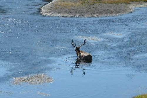 Ciervo cruzando el río Madison (entrada oeste del parque nacional yellowstone) parque nacional yellowstone - 2513520425 8cfe6d5170 - Parque Nacional Yellowstone, cómo visitarlo en dos días