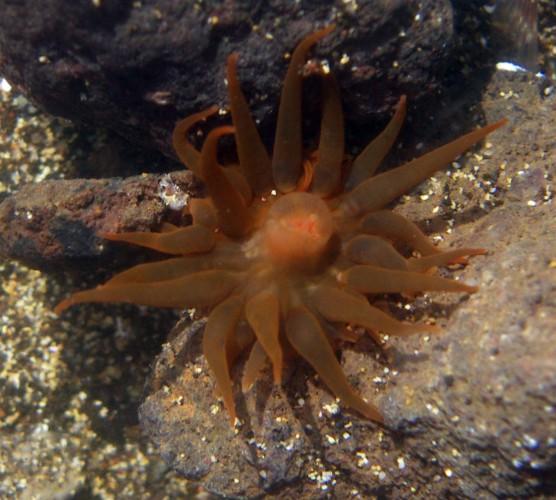 Anemonia melanaster 2524219728_fca3fc237c_o